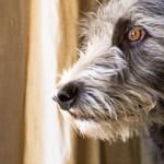 adaptil anxiety dog