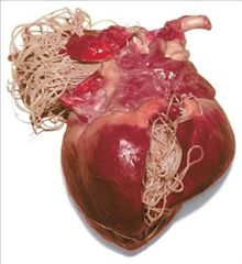 heartworms in a dog